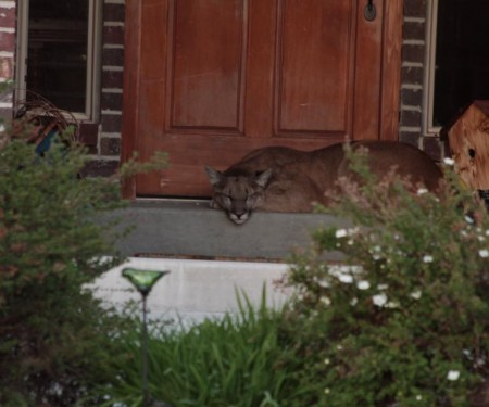 Mountain lion on porch 5-25-16