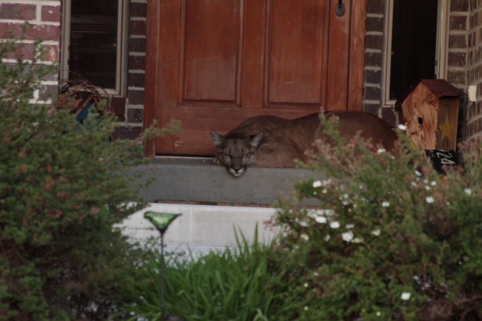 Mountain lion on porch 5-25-16