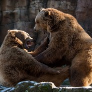 bears fighting 5-27-16