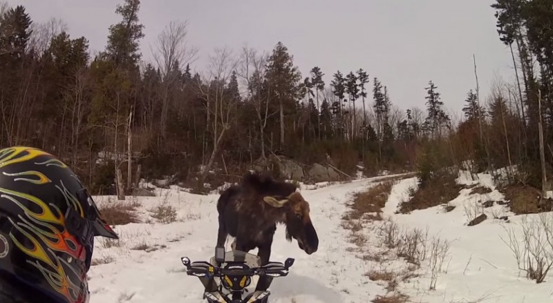 A snowmobiling couple had a tense confrontation with a moose while riding in Maine, and the footage from the encounter is going viral.