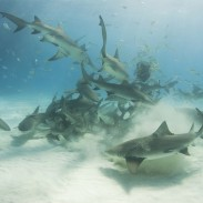 More than 100 sharks swarmed the shore of  Cape Lookout National Seashore. (Image courtesy of NaluPhoto/iStock).