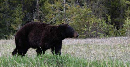 bear-yosemite